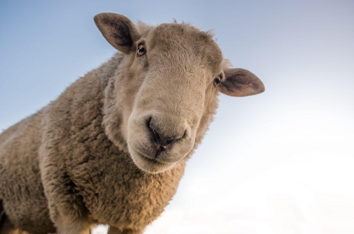 Der Moderator wird zum Schaf vor den Wölfen